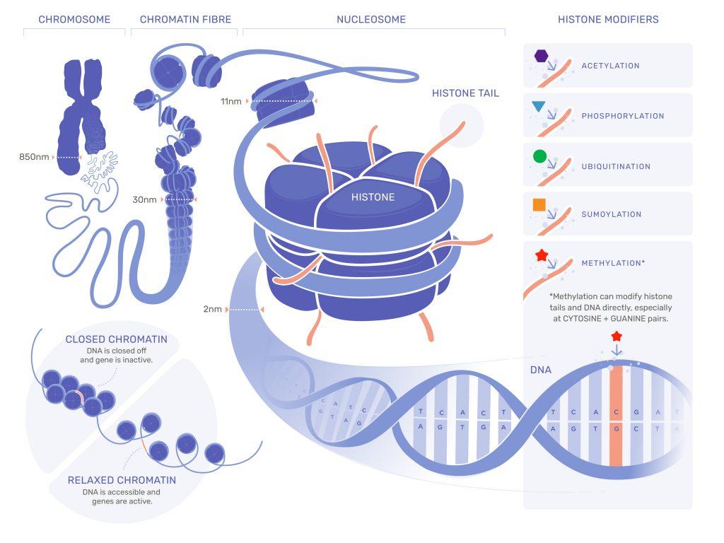 Epigenetika - ilustrácia obaľovania génov v DNA